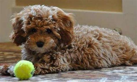 cavapoochon puppies for sale cavapoochon www imgkid the image kid has it
