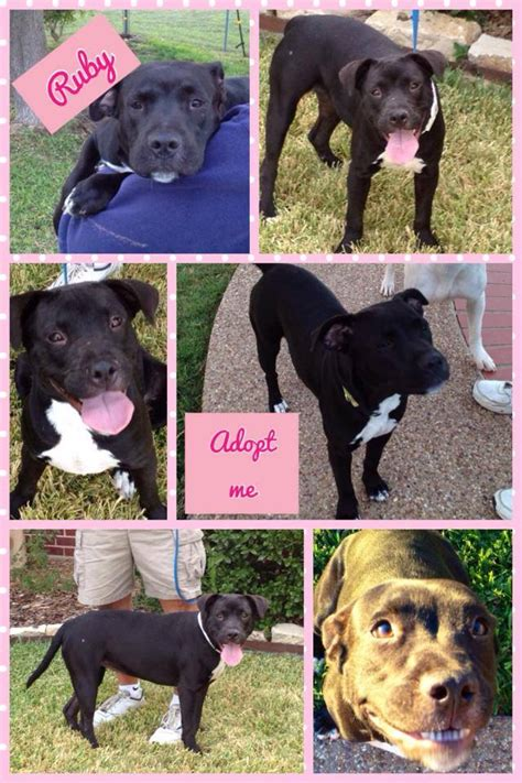 adoption dallas ruby black american pit bull available for adoption pet adoption animal rescue