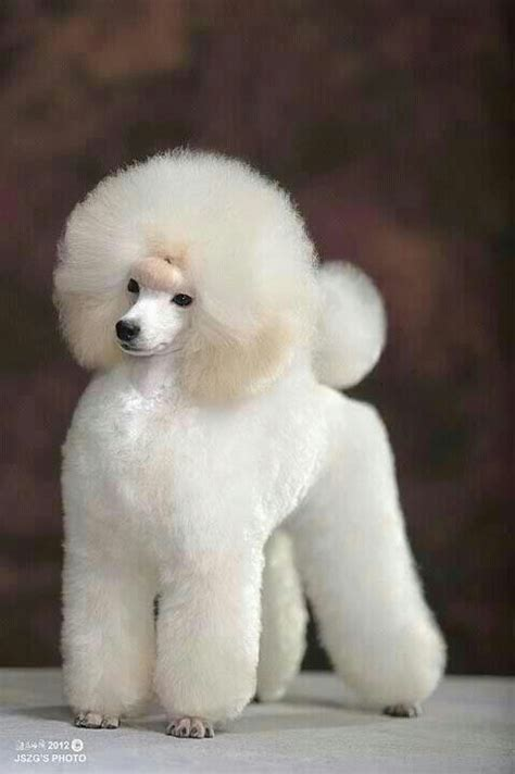 puppy cut poodle repinned poodle puppy show cut poodles for all