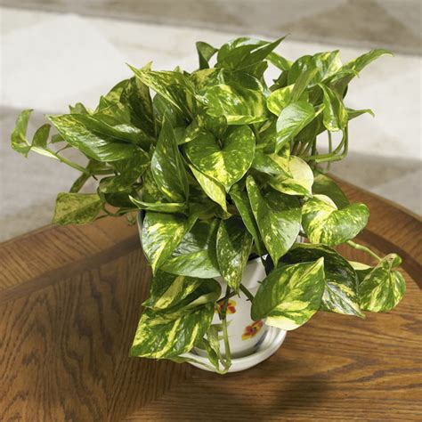foliage plant care house plants for beginners
