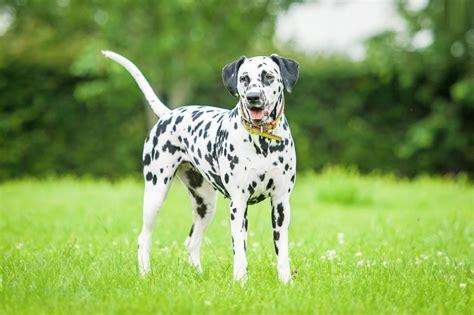 dalmatian puppy price dalmatian facts pictures puppies temperament breeders price information