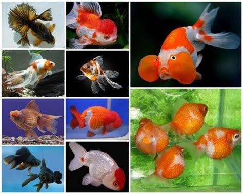 akuarium ikan mas koki design inilah jenis dan harga ikan mas koki termahal dan terbesar