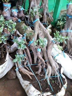 Jual Bibit Rumput Gajah Mini Jogja bonsai beringin jual bonsai beringin jual rumput gajah