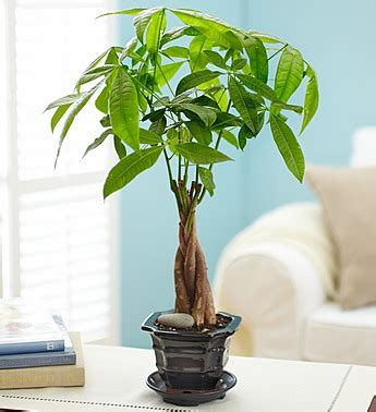 small indoor trees indoor trees small tropical and flowering