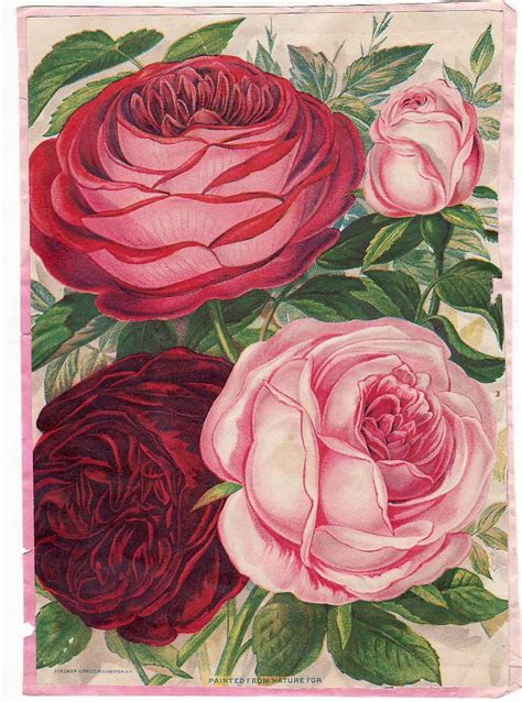 An Antique Notebook Cabbages Roses by 5794 Best Images About Vintage Graphics Paintings