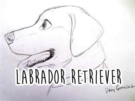 how to a labrador how to draw a labrador retriever