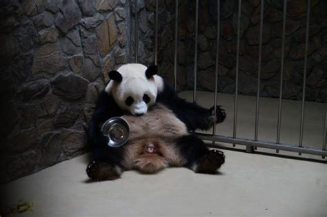 fotos de grupo panda as 237 se cuida a los beb 233 s de panda gigante en china spanish