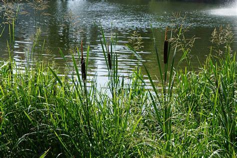 Pflanzen Im Und Am Wasser 4144 by Free Photo Danube River Plant Water Reed Free Image