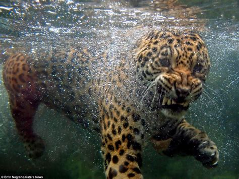 jaguar water the moggy paddle the sight of a hungry
