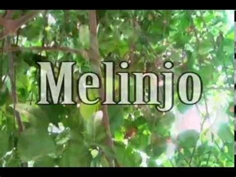 melinjo tree    emping melinjo chips youtube