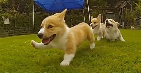 puppies running baby corgis running www pixshark images galleries with a bite