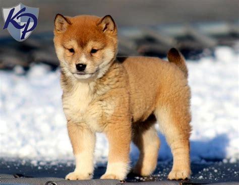 shiba inu puppies wisconsin ajax shiba inu puppy www keystonepuppies keystonepuppies shibainu shiba inu