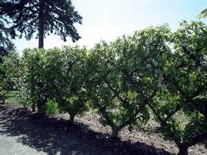 evergreen espalier trees pictures to pin on pinterest pinsdaddy