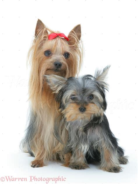 show yorkies dogs terrier in show coat with pup photo wp18974