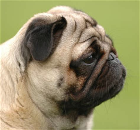pug side appearance and other pug information