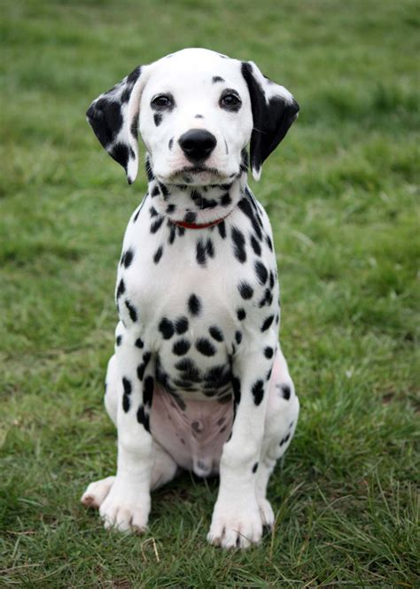 puppy dalmatian dalmatian all big breeds