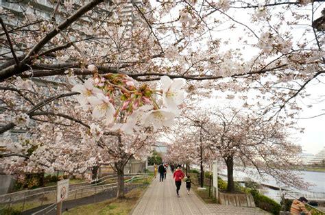 mengenal musim semi  jepang suasana iklim wisata khas