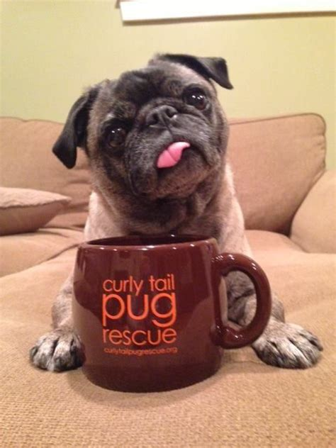 why do pugs tails curl 1000 ideas about pug rescue on pugs pug and pug dogs