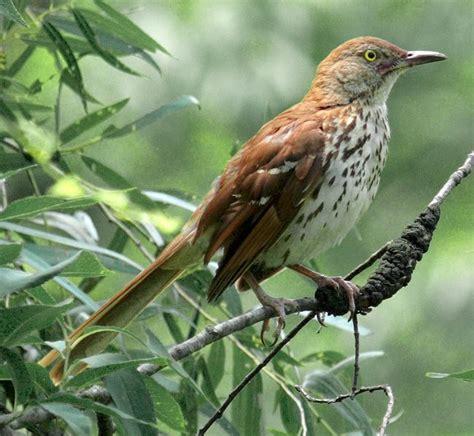 brown thrasher birds seen in my backyard pinterest