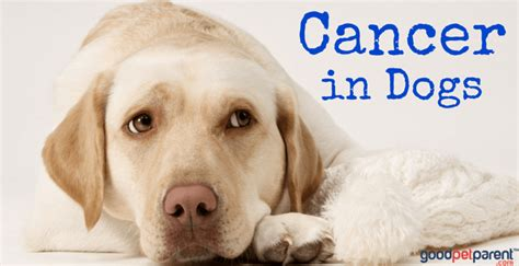 types of cancer in dogs cancer in dogs pet parent