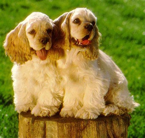 americancockerspaniel explore americancockerspaniel on american cocker spaniels who let the dogs out pinterest