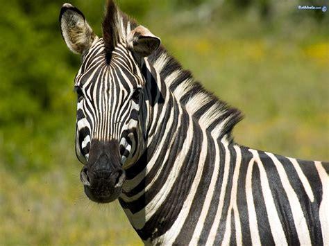 zebra wallpaper pinterest zebra photo zebra the animal kingdom wallpaper 250735
