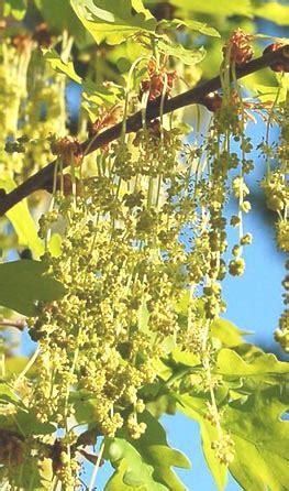 fiori di bach oak oak fiore di bach cosa 232 e a cosa serve oak dei fiori di
