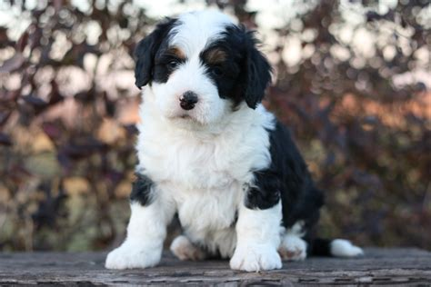 bernedoodle puppies for sale florida bernedoodle puppies cost pets wallpapers