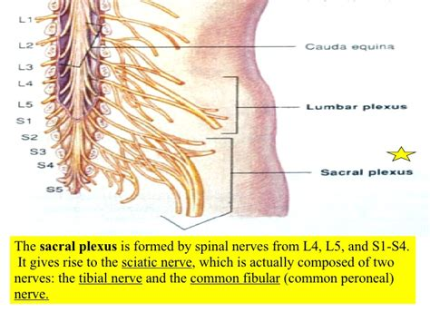diagram of the spine and nerves lower back nerve diagram lower back spinal nerves