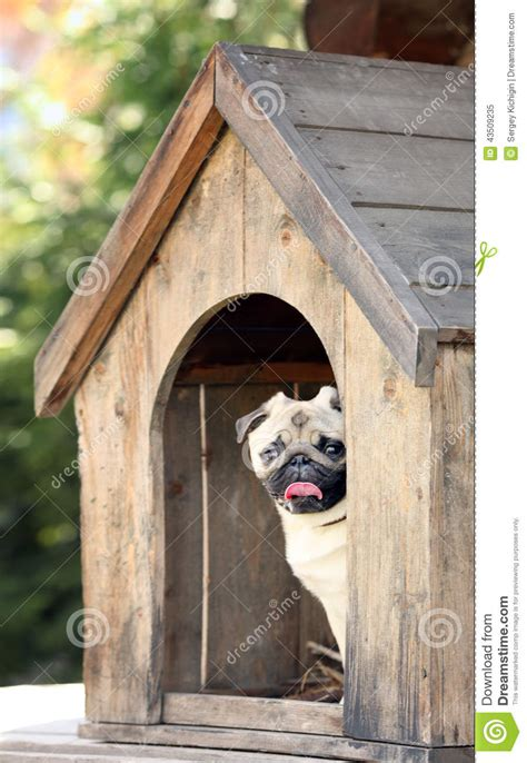 pug dog house funny pug dog in the dog house stock photo image 43509235