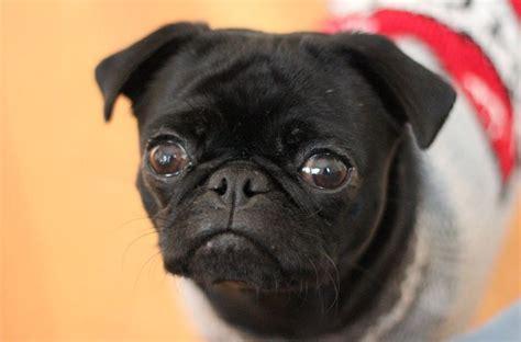 black pug adoption rescue black pugs images