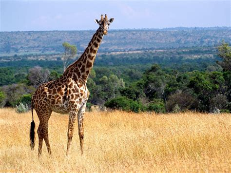 african safari animals amazing african animals the tallest amazing giraffe