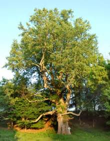 giant poplar tree nature trees wood pinterest poplar tree trees and the white