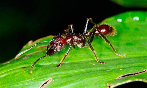 imagenes de hormigas rojas hormiga bala caracter 237 sticas qu 233 come d 243 nde vive