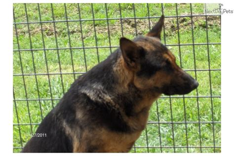german shepherd puppies okc german shepherd puppy for sale near tulsa oklahoma de1d7b6b 2011