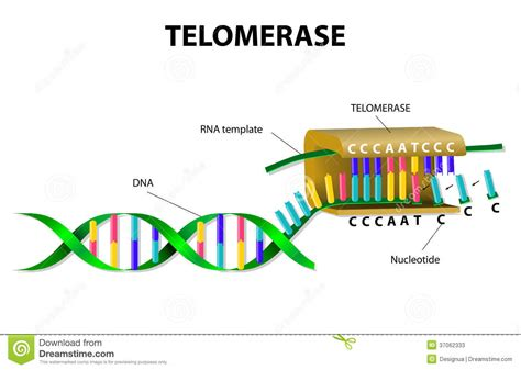 telomerase elongates telomere stock vector illustration