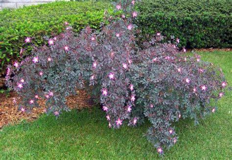 purple leaf shrub with pink flowers rosa glauca a with purple foliage and single
