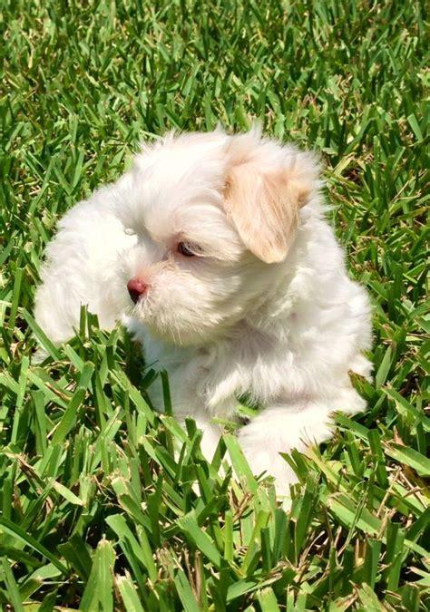 maltese shih tzu newborn puppies best 25 maltese shih tzu ideas on maltese puppies shih tzu maltese mix