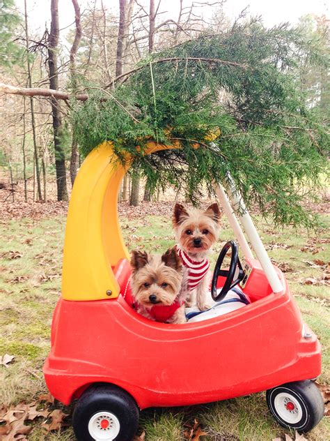 how to a yorkie to on pad a yorkie the lilypad cottage