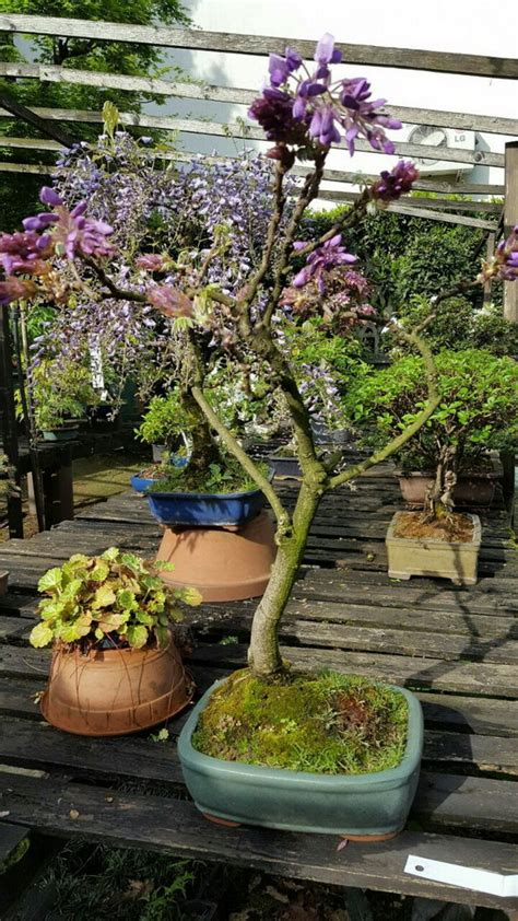 bonsai con fiori albonsai piante e fiori freschi bonsai milanomia