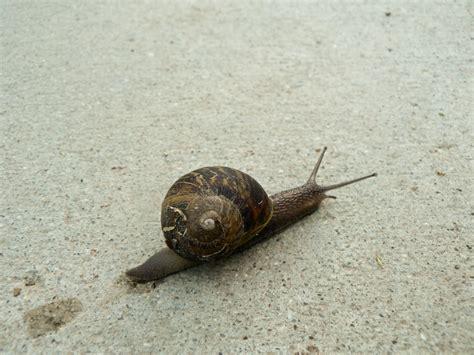 Brown Garden Snail by Mokka Mit Schlag 187 Brown Garden Snail