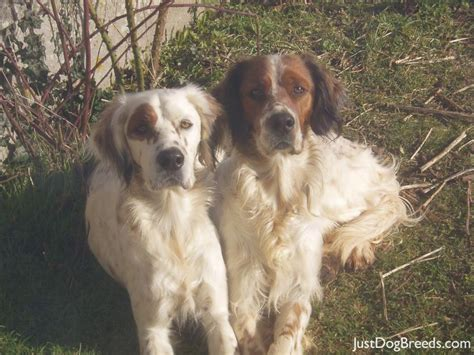 list of setter dog breeds max and gus english setter dog breeds