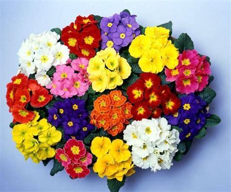 primula fiore primula primula polyantha primula polyantha perenni
