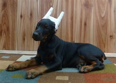 all black dogs all black doberman www pixshark images galleries with a bite