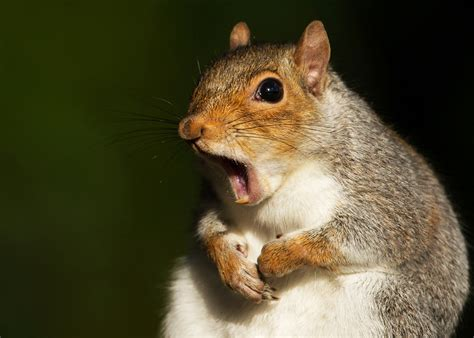 squirrels express frustration by twitching their tails