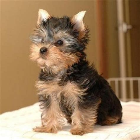 yorkie puppies in adorable teacup yorkie puppies for adoption offer