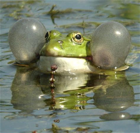 Marsh Frog | Animal Wildlife