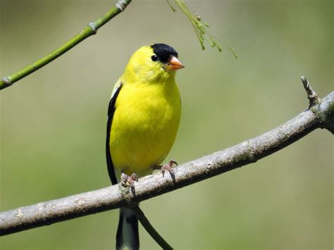 american goldfinch renegade expressions