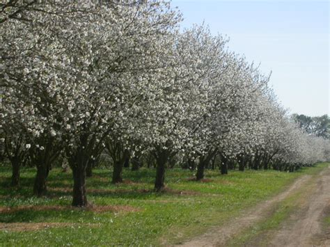 cherry tree yield cherry trees small in stature large in yield ridgeview