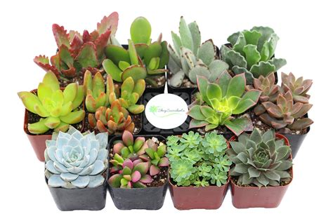 Amazon Succulents | amazon com shop succulents unique succulent collection